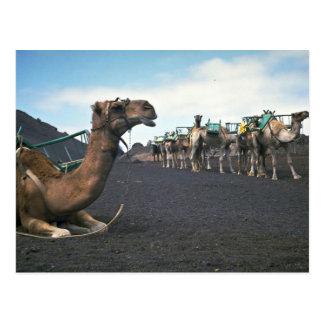 Camels, Lanzarote Postcard