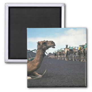Camels, Lanzarote Square Magnet