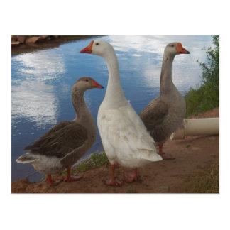 Camp Verde Geese Postcard