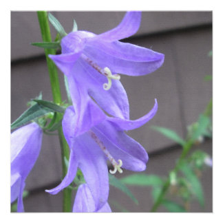 Campanula Garden Flower Announcement