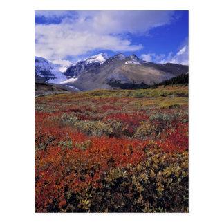 Canada, Alberta, Banff NP. Huckleberries provide Postcard
