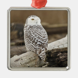 Canada, Boundary Bay, Snowy Owl Christmas Ornament