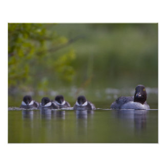 Canada, British Columbia,Common Goldeneye, 2 Poster