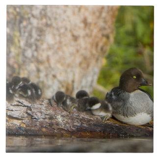 Canada, British Columbia,Common Goldeneye, Large Square Tile