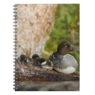 Canada, British Columbia,Common Goldeneye, Spiral Notebooks