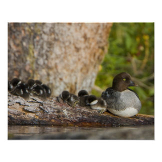 Canada, British Columbia,Common Goldeneye, Poster