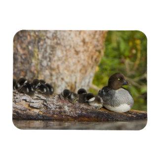 Canada, British Columbia,Common Goldeneye, Rectangular Photo Magnet