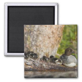 Canada, British Columbia,Common Goldeneye, Square Magnet