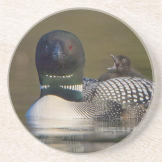 Canada, British Columbia,Common Loon, breeding 2 Coaster