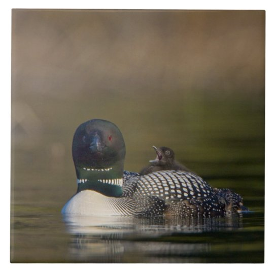 Canada, British Columbia,Common Loon, breeding 2 Large Square Tile