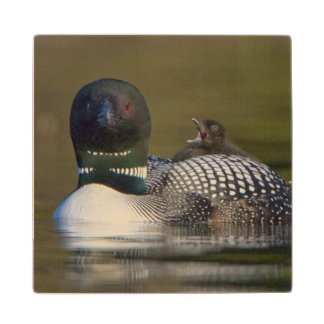 Canada, British Columbia,Common Loon, breeding 2 Wood Coaster
