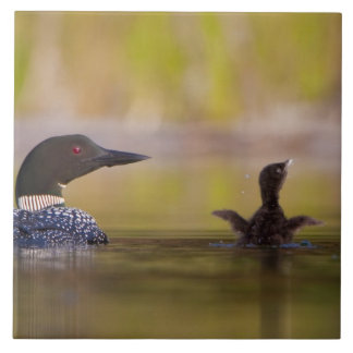 Canada, British Columbia,Common Loon, breeding 3 Large Square Tile