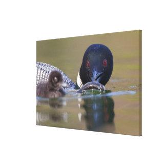 Canada, British Columbia,Common Loon, breeding Canvas Print