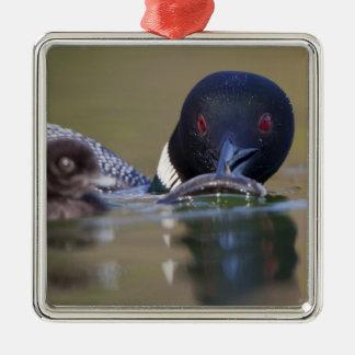Canada, British Columbia,Common Loon, breeding Christmas Ornament