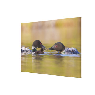 Canada, British Columbia,Common Loon, breeding Gallery Wrapped Canvas