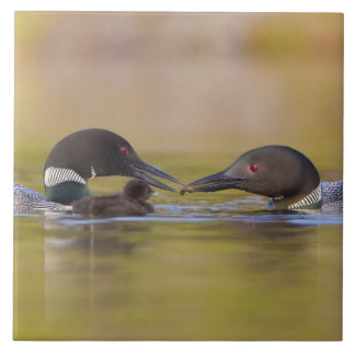 Canada, British Columbia,Common Loon, breeding Large Square Tile