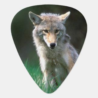 Canada, British Columbia, Coyote (Canis latrans) Guitar Pick