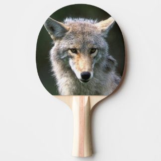 Canada, British Columbia, Coyote (Canis latrans) Ping Pong Paddle