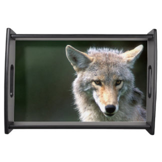 Canada, British Columbia, Coyote (Canis latrans) Serving Tray