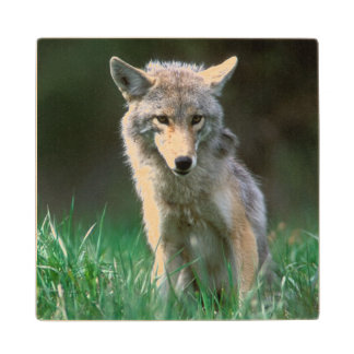 Canada, British Columbia, Coyote (Canis latrans) Wood Coaster