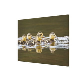 Canada, British Columbia, Kamloops, mallard 2 Canvas Print