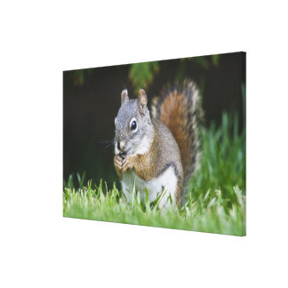 Canada, British Columbia, Red Squirrel Pine Stretched Canvas Prints