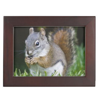 Canada, British Columbia, Red Squirrel Pine Keepsake Box