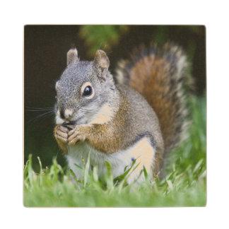 Canada, British Columbia, Red Squirrel Pine Wood Coaster