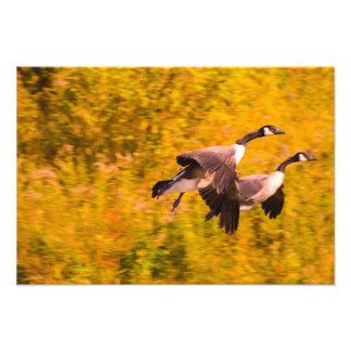 Canada Geese in flight autumn Photo Print