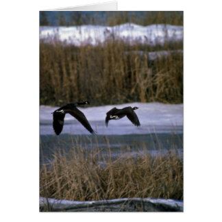 Canada Geese, in flight Card