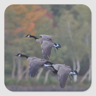 Canada Geese in Flight Square Sticker