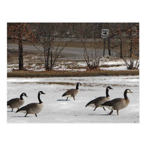 Canada Geese Keep Right Post Card