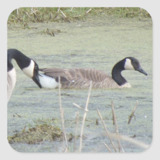 Canada Geese pair in algae covered swampy pond Square Sticker