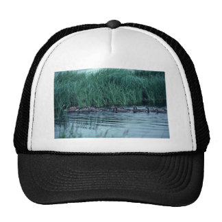 Canada goose and brood in water trucker hat