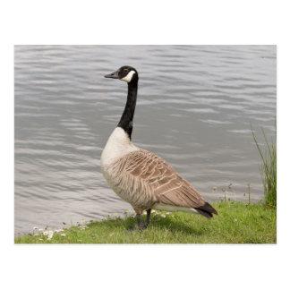 Canada Goose montebello parka replica fake - Branta Postcards | Zazzle.co.uk