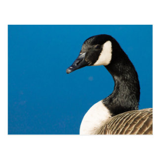Canada Goose' Postcard