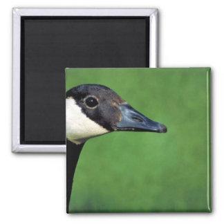 Canada goose square magnet