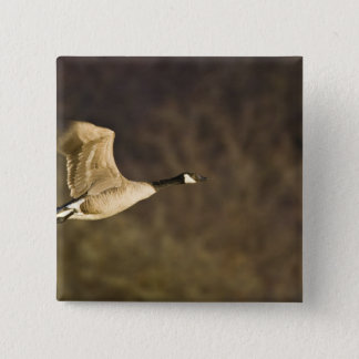 Canada Goose takes off for flight in wetlands 15 Cm Square Badge