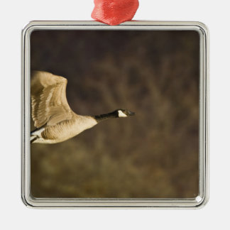 Canada Goose takes off for flight in wetlands Christmas Ornament