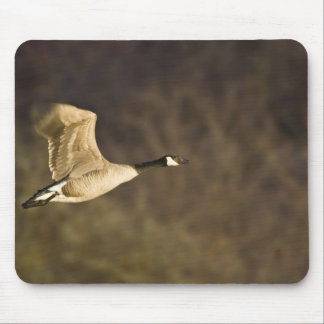 Canada Goose takes off for flight in wetlands Mouse Mat