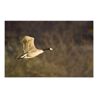 Canada Goose takes off for flight in wetlands Photo Art