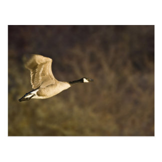 Canada Goose takes off for flight in wetlands Postcard