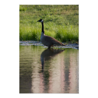 Canada Goose Wading Poster