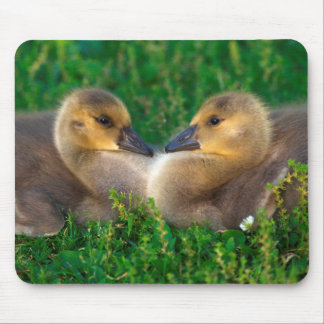 Canada Goslings that form a heart Mouse Mat