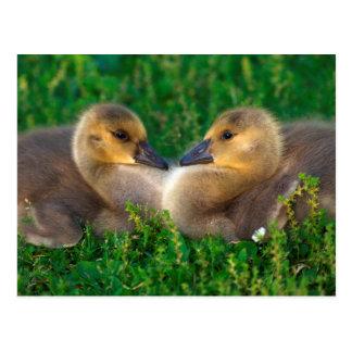 Canada Goslings that form a heart Postcard