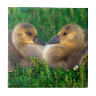 Canada Goslings that form a heart Small Square Tile