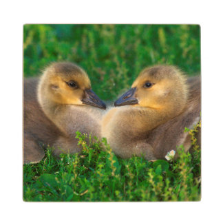 Canada Goslings that form a heart Wood Coaster