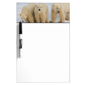 Canada, Hudson Bay. Polar bear mother with two Dry Erase Board