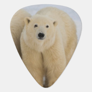 Canada, Hudson Bay. Polar bear mother with two Plectrum