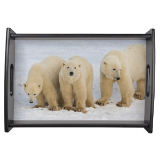 Canada, Hudson Bay. Polar bear mother with two Serving Tray